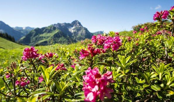 Alpenrosen Wandern Widderstein Dominik Berchtold (14) (c) Dominik Berchtold - Kleinwalsertal Tourismus eGen