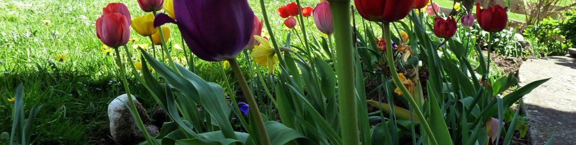 Tulpen-Impression