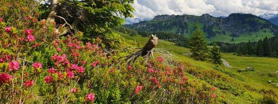 Alpenrosen mit Besler