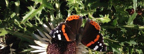 Distel Schmetterling