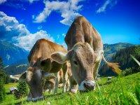 Cows-2641195 (2)