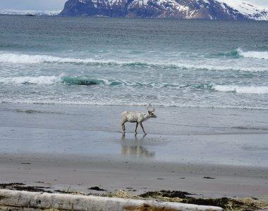 Rendier am Strand auf der Insel Arnøya, Lyngen Alps
