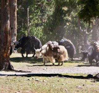 Yaks beim Anmarsch zur Putha Hiunchuli