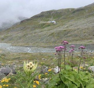 Bergblumen in der Silvretta