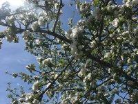 Oberstdorf Natur, Apfelblüte