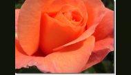 Bluete-orange1