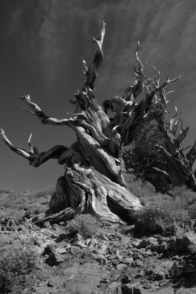 Die ältesten Bäume der Welt bei Bishop