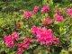 1. Tag - Alpenrosen in voller Blüte