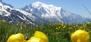 Trollblume mit Mont Blanc