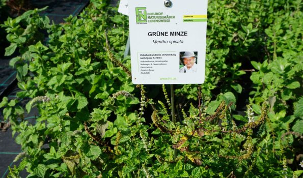 Grüne Minze am Oberpalwitterhof