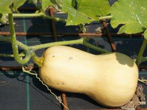 Kürbis vor der Ernte