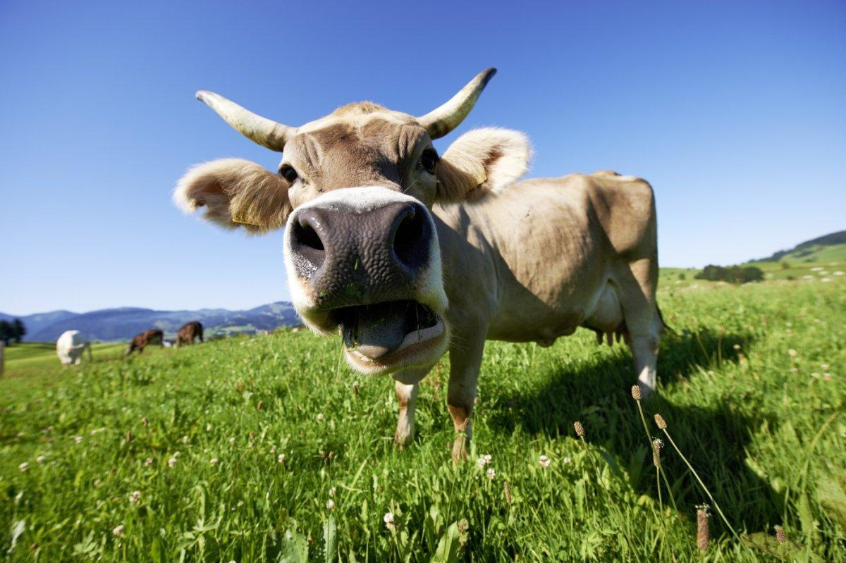 Das Allgäuer Braunvieh weidet auf saftigen Bergwiesen
