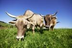 Das Allgäuer Braunvieh mit Hörnern grast auf saftigen Bergwiesen