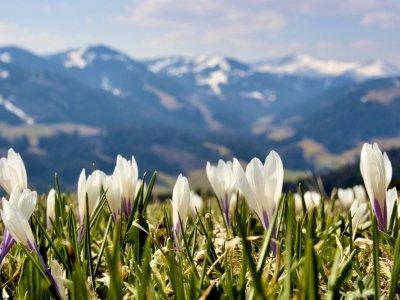 Krokusblüte Oberstaufen