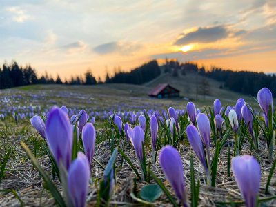 Frühlingsboten in Oberstaufen