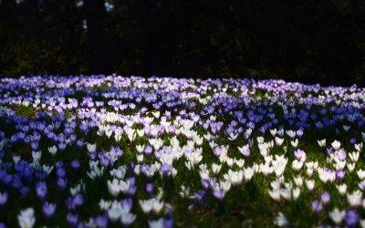 Krokusblütenmeer