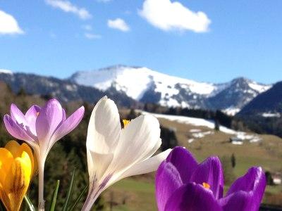 Bergfrühling in Oberstaufen mit dem verschneiten Hochgrat im Hintergrund