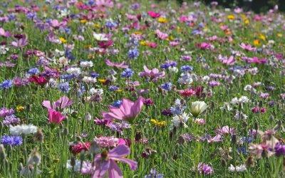 Sommer-Blumenwiese