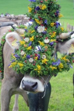 Die Kranzkuh wird wunderbar geschmückt von den Hirten