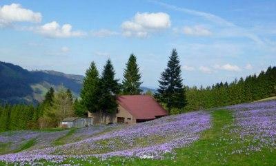 Hochsiedel Alpe mit blauem Krokusteppich