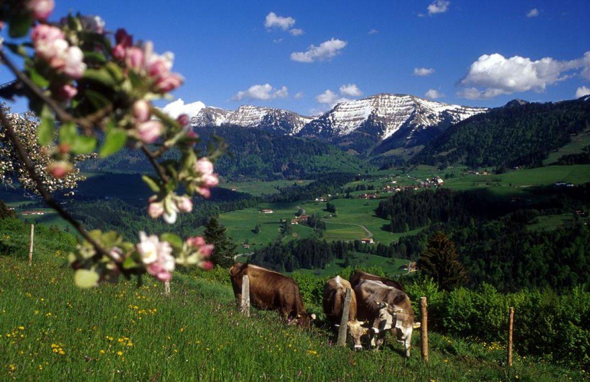 Allgäuer Idylle: Die Sommerweiden - die Heimat der hellbraunen Kühe