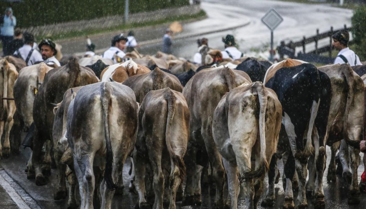 Viehherde am Viehscheid