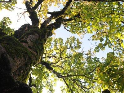 Warum wachsen um Oberstaufen so viele uralte Bäume?