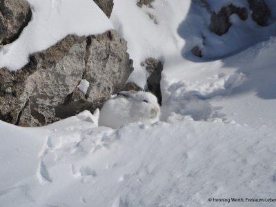 Schneehase in Oberstaufen