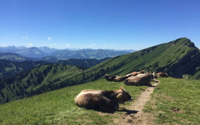 Kühe auf dem Hochgrat