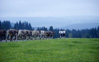 Auf den Weg ins Tal zum Viehscheid Oberstaufen