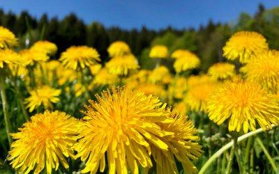 Löwenzahn - gelber Frühlingsbote im Allgäu