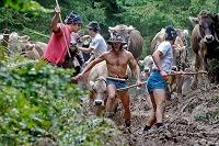 Abtrieb der Herden zum Viehscheid