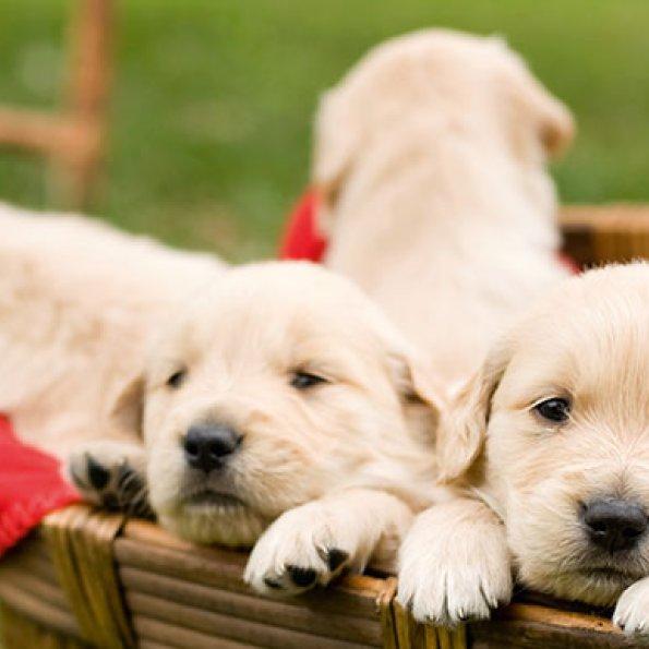 Hunde im Körbchen