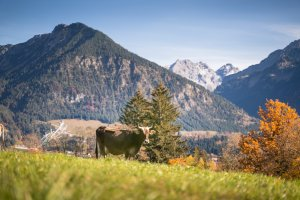 Kuh auf der Herbstweide