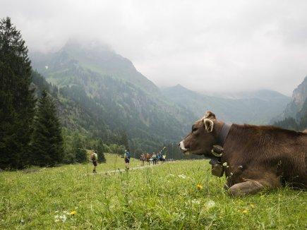 ein Rind im Oytal