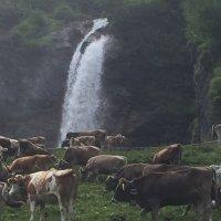Rinder am Stuibenfall