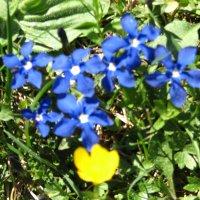 Frühlingsenzian - Schusternägele