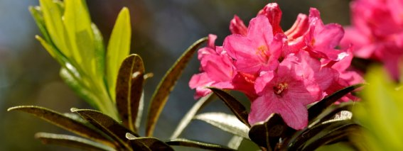 Alpenrose am Fellhorn