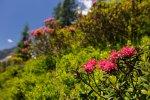 Alpenrosen, Fellhorn