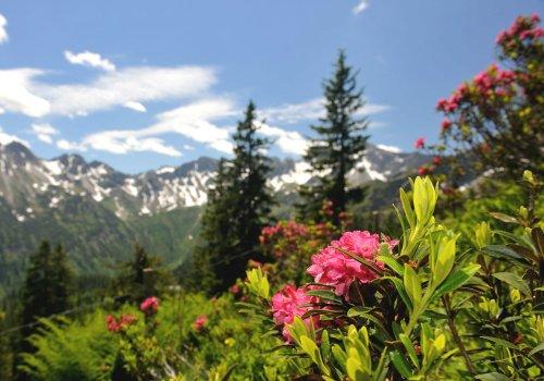 Alpenrosenblüte, Fellhorn