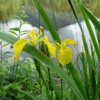 Schwertlilie am Moorweiher