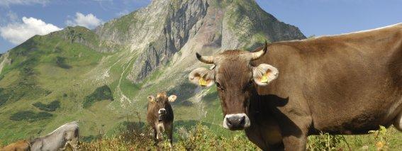 Kuh Oytal Tourismus Oberstdorf