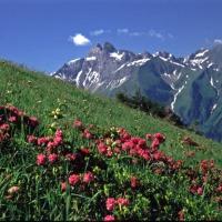 Traufbachtal mit Alpenrosen