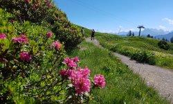 Alpenrosenblüte am Fellhorn