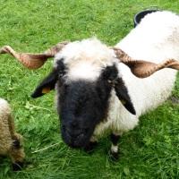 Schaf in Einödsbach
