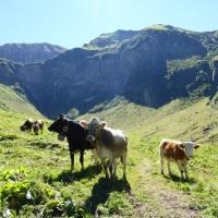 Vieh im Dietersbachtal