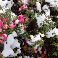 verschneite Röschen
