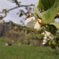 Apfelblüte am Moorweiher