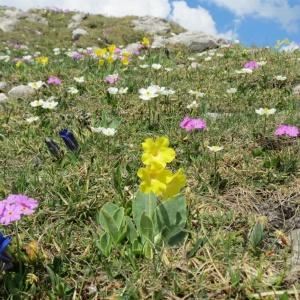 Blumen am Nebelhorn (4)