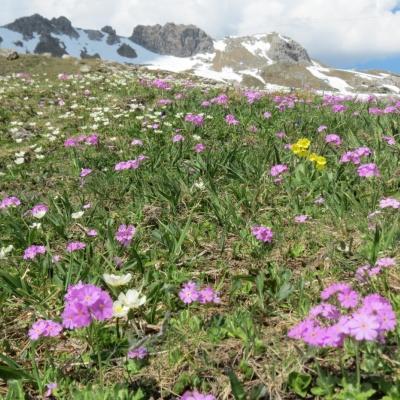 Blumen am Nebelhorn (5)